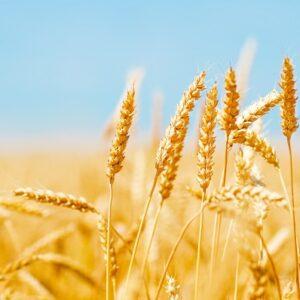 El trigo no sólo provoca celiaquía